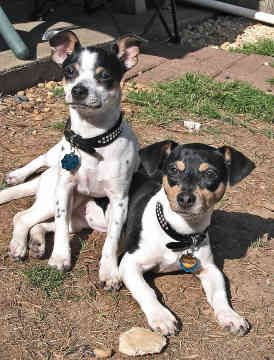 Best collar for rat terrier