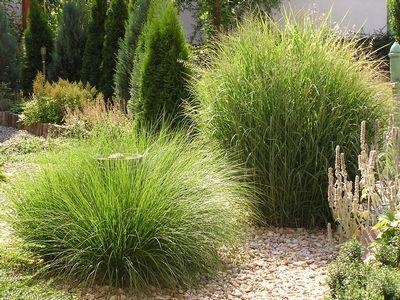 Na snímku vlevo je dochan psárkovitý (Pennisetum alopecuroides). Od srpna bohatě kvete, roste hustě, listy má úzké a ostré, vyžaduje teplé stanoviště a živné půdy. Vpravo proso prutnaté (Panicum virgatum).
