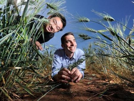 Science | The race is on to find new ways of growing food to feed the globe's burgeoning population – and a team of Australian scientists are leading the way.  #Australia #Science #salt tolerant wheat