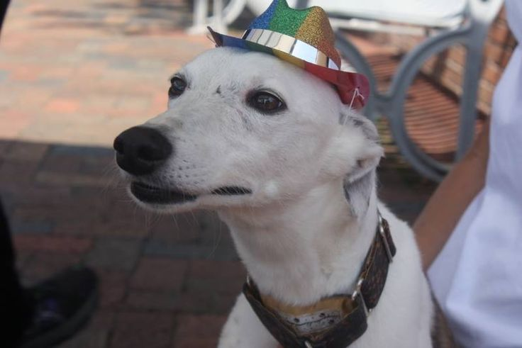 Stewart looking all serious in his party hat. #AnimalHospital #Veterinarian #Pets #KAH #FrederickMaryland #KingsbrookAnimalHospital #Vet #CommunityEvents #FrederickPride