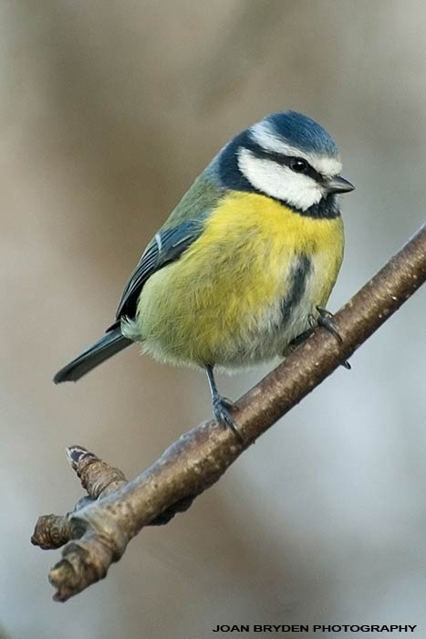 Blue tit - Way too cute