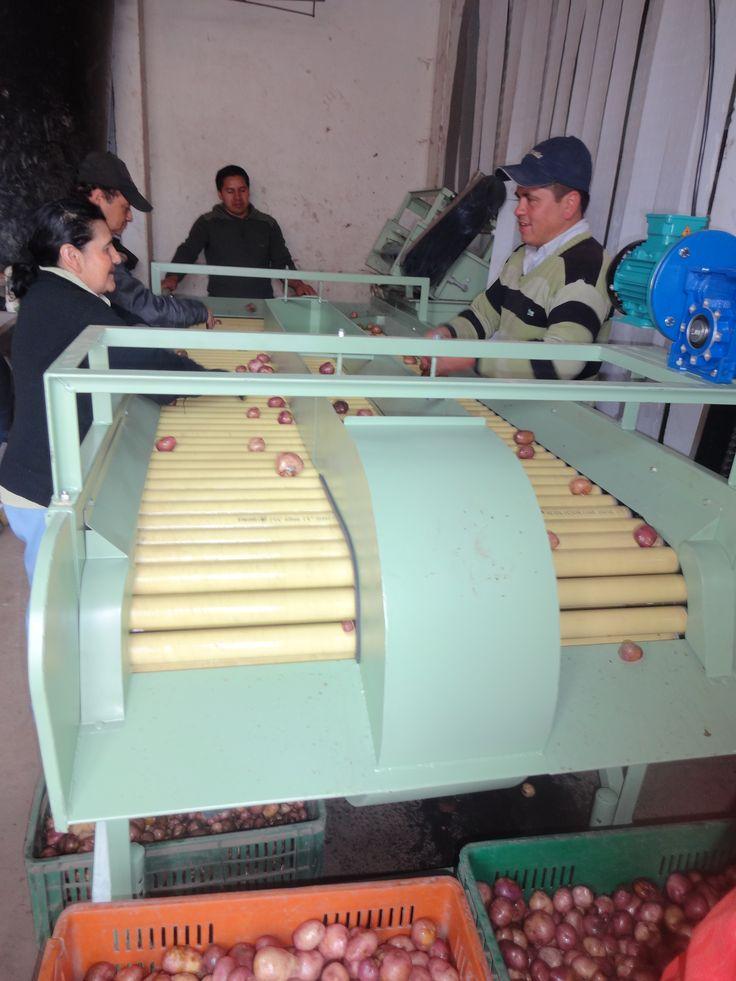 Seleccionadora de Daño: Fabricada en tubos PVC que permite agilizar el proceso de selección por daño, para entregar un producto en optimas condiciones a la hora de empacarlo.