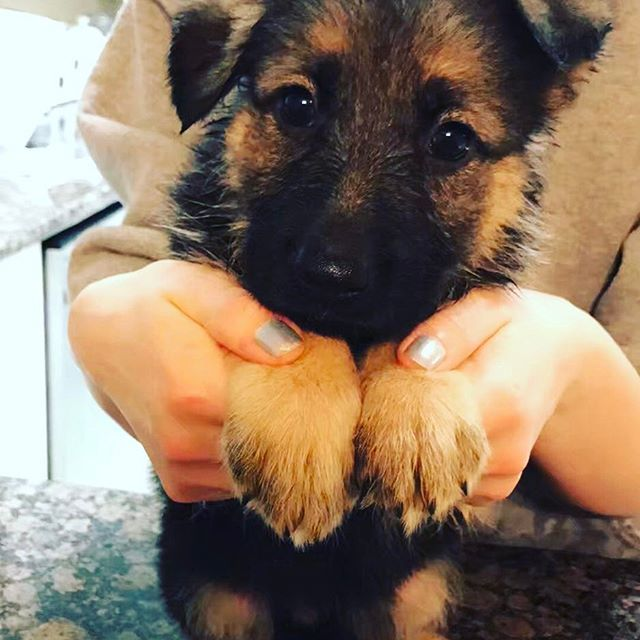 New family member🐶  Two month old German Shepherd girl❤️🇩🇪 . . . 新しい家族が増えました! ジャーマンシェパードの女の子。 成長が楽しみ😊💕💕🇩🇪 . . #yorkie #yorkiepoo #yorkiesofinstagram #yorkiepoosofinstagram #poodle #poodlemix #poodlesofinstagram #dog #doglover #dogsofinstgram #dogs #snacktime #seven #fafa #nine #myboy  #germanshepherd #germanshepherdpuppy #germanshepherddog #puppy #ヨーキー倶楽部  #ヨーキーミックス #ヨークシャテリア #プードル #愛犬 #犬好き #わんこクラブ #犬
