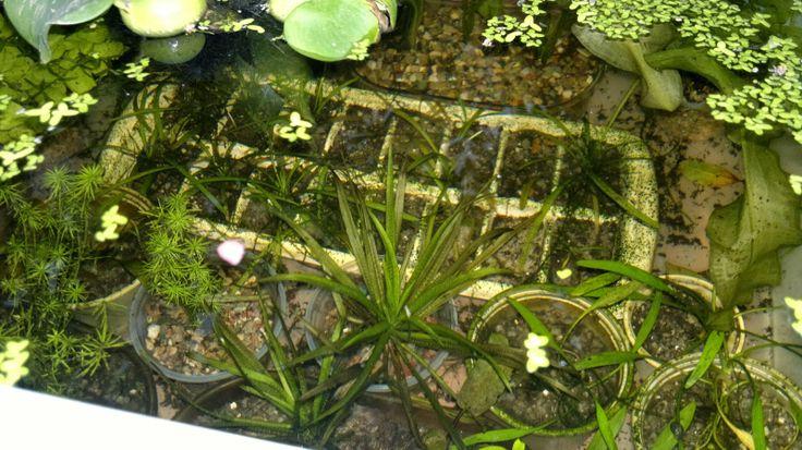 Flávio Peixes (Peixes Ornamentais e Plantas Para Aquários): Continuação Plantas à Venda para Aquáruis - Fregue...