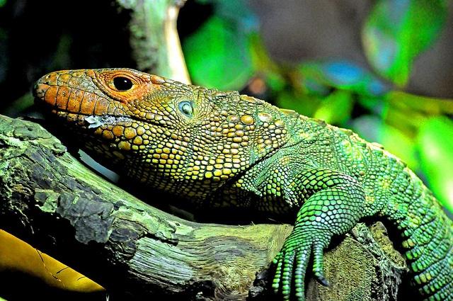Caiman Lizard   everyb...
