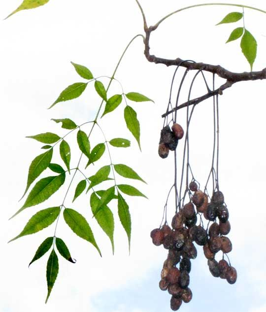 Neem tree, AZADIRACHTA INDICA, leaf and fruit