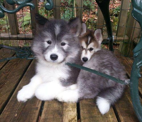ふわふわもふもふ〜!+「サモエド×シベリアンハスキー」の子犬がめちゃんこ可愛いッ♪