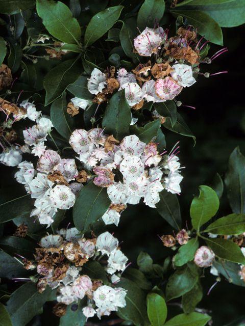 Kalmia latifolia (Mountain laurel) #22969
