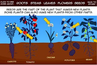 Grade 3 - Ontario -  Interactive Education: Interactive Plant Parts