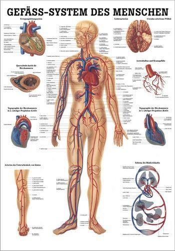 Gefäßsystem des Menschen, 70 x 100 cm, papier