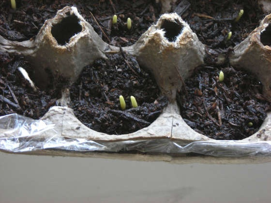 Reuse those paper egg cartons -- start your seeds in them and when time to plant in your garden simply cut the paper cups apart along the raised parts with scissors and transplant the individual cups at the appropriate seedling spacing!    The paper is biodegradable.  Start saving those egg cartons now. Come on Spring!!!