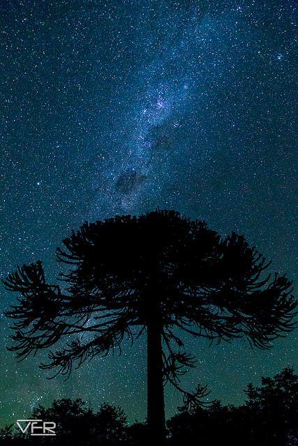 Araucaria de noche Flickr: Vichofr