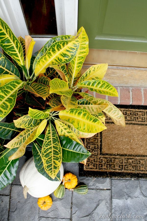 The colorful leaves of crotons are perfect for bringing in Fall color if you want to skip the mums this year. {from Fall Front Door Refresh post}
