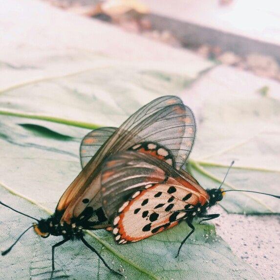 Butterflies at its weirdest