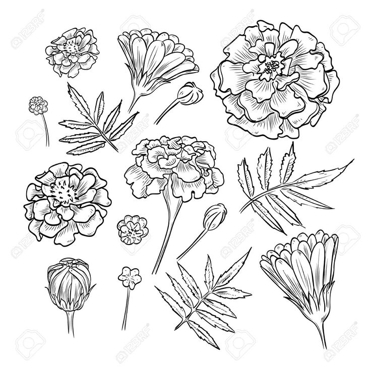 Elementary Suggestions How To Draw Marigolds 2019 in 2020