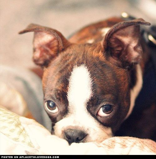 Sweet Boston Terrier pup Da Vinci with his bestest puppy dog face! His ears are slowly starting to stand!