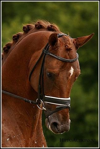 Dutch Warmblood Stallion - Tolando