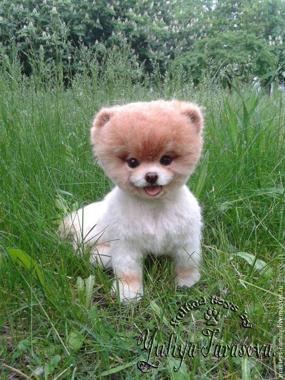 Купить Померанский шпиц Бу (Boo) - бежевый, собака, собачка, померанский шпиц бу, песик