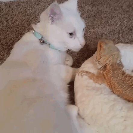 Gato e dragão barbudo são BFF - O Verso do Inverso