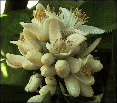 El nombre de esta flor proviene del árabe al-azahar que significa flor blanca.