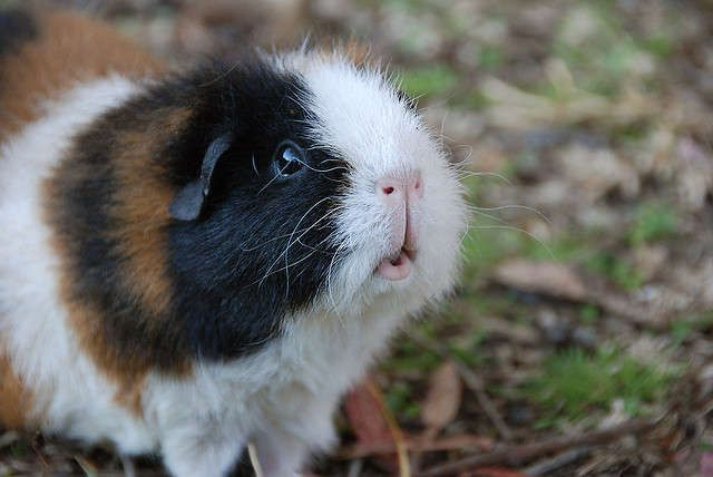 17 Best Ideas About Guinea Pig Funny On Pinterest Cute