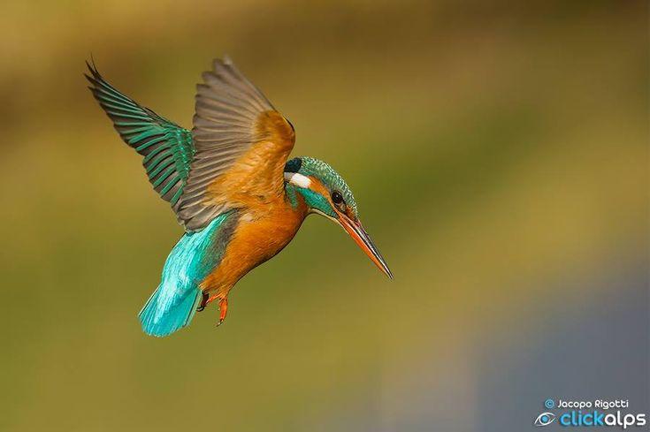 Kingfisher Flying KINGFISHER - ph...