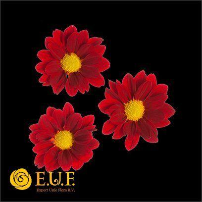 Chrysanthemum Indicum Grp tros kas Merlot