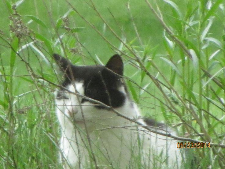 Oreo 6 year old male neutered cat.