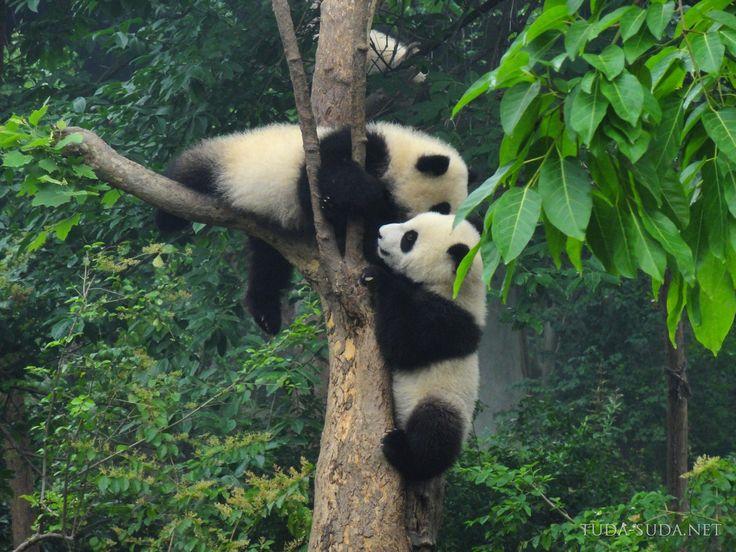 На дереве резвятся невероятно забавные зверюшки - гигантские панды. Для них на территории Китая создано несколько заповедников.