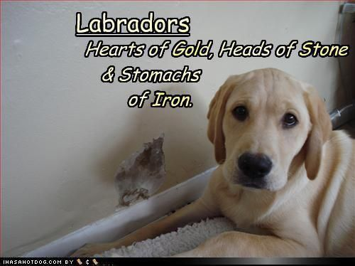 Labradors.. God love them  This week mine ate my best shoes and then chewed on my log house... YikeS