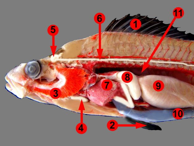 biological anatomy of perch frogs pigs Results 1 - 10 of 10  fetal pig dissection tools nitrile gloves fetal pig anatomy disposable  6  specimens (grass frog, worm, clam, perch, grasshopper, crayfish).