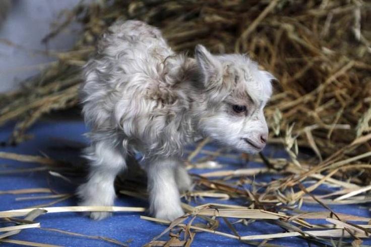Noori, la primer cabra de lana pashmina clonada, presentada en la Universidad Sher-e-Kashmir de Ciencias Agrícolas y Tecnología. Foto: EFE.