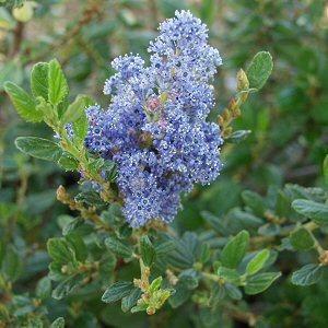 Ceanothus Ray Hartman Wild Lilac A Fast Growing Evergreen Shrubssmall Treesfast
