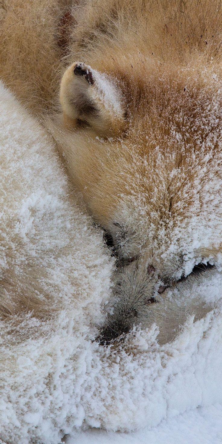 Snoozing sled dog in Greenland - by Sean Scott