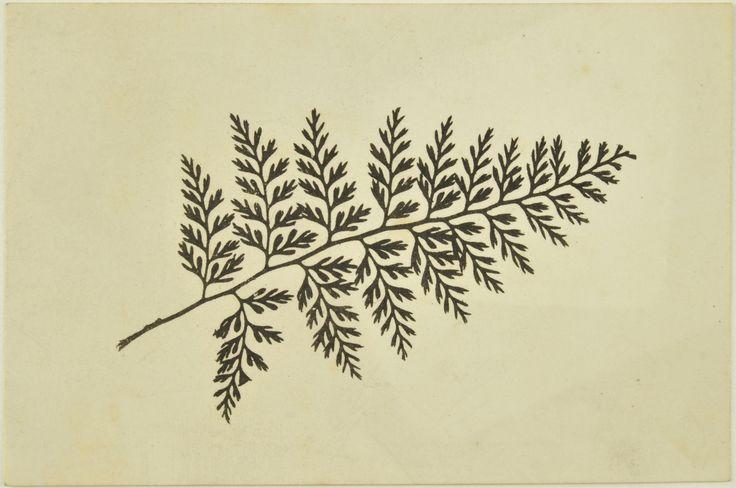 Fotografia de uma planta, Henry Fox Talbot