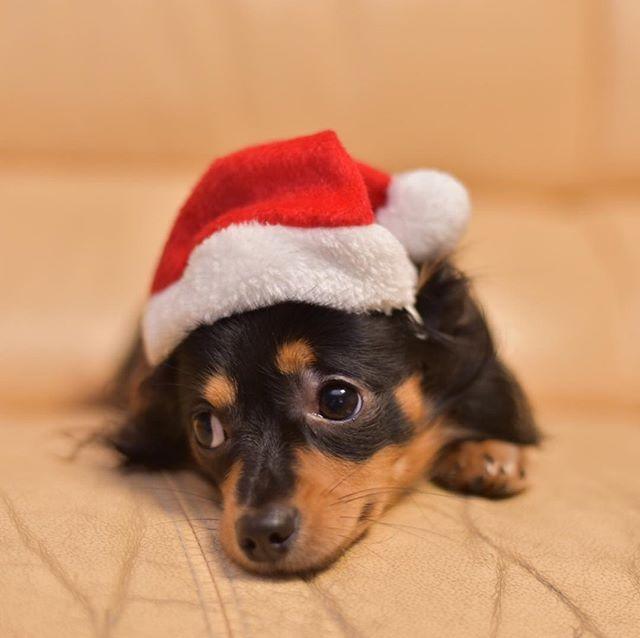 今日も明日も仕事。年末年始も仕事ですが?  #メリークリスマス #愛犬 #コスプレ #サンタ #ダックス #チワワ #仕事行きたくない #merrychristmas #family