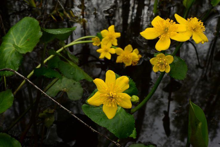 https://flic.kr/p/U4Sro7 | Wild flowers on a background of water yellow globe flowers | Wild flowers on a background of water yellow globe flowers