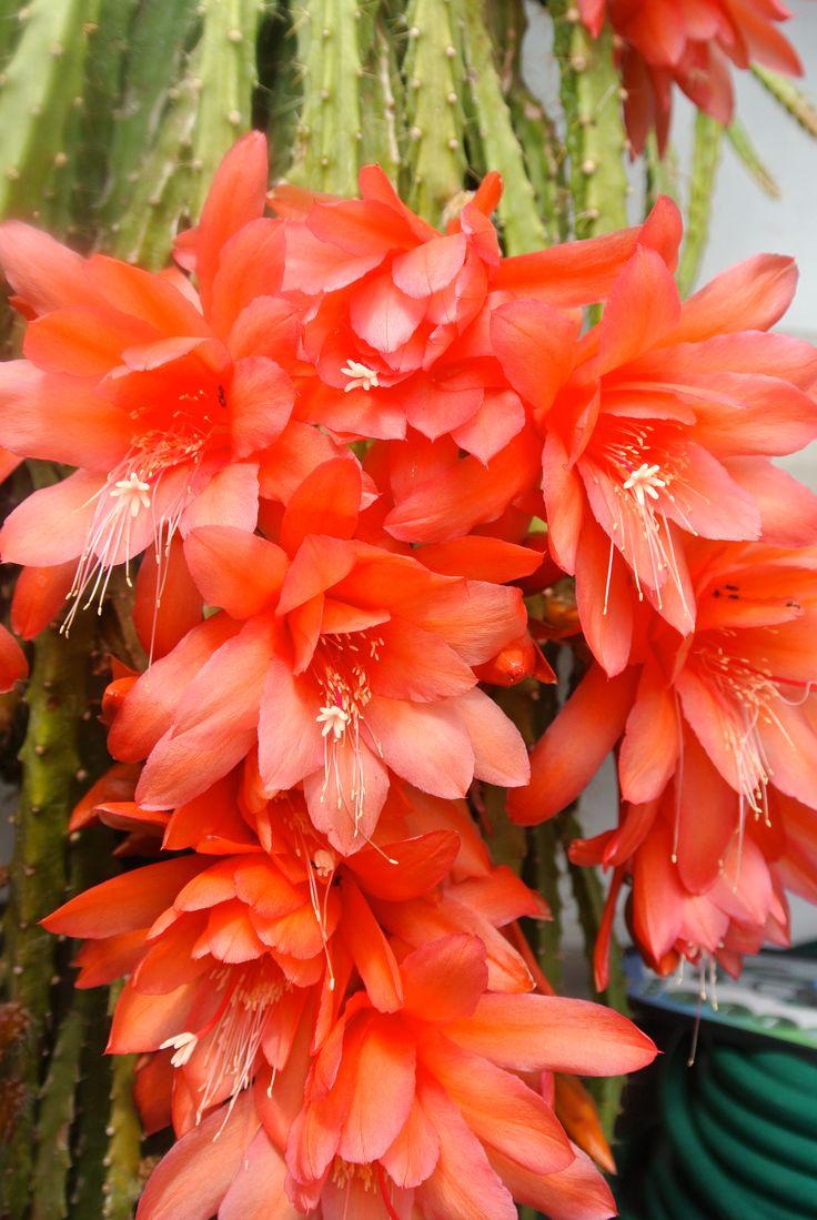 Flowers unique flowers beautiful flowers orchid cactus cactus flower - Orchid Cactus Epiphyllum