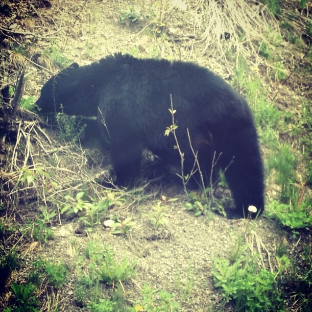 Black bear spotted near Princeton in British Columbia.
