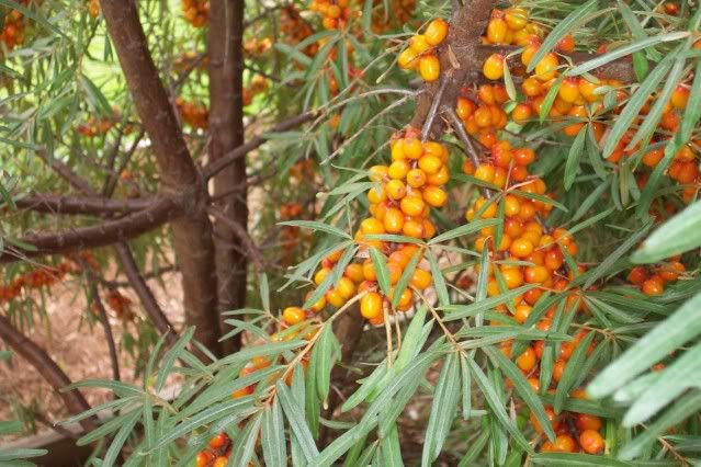 Sea Buckthorn berries- jelly recipe