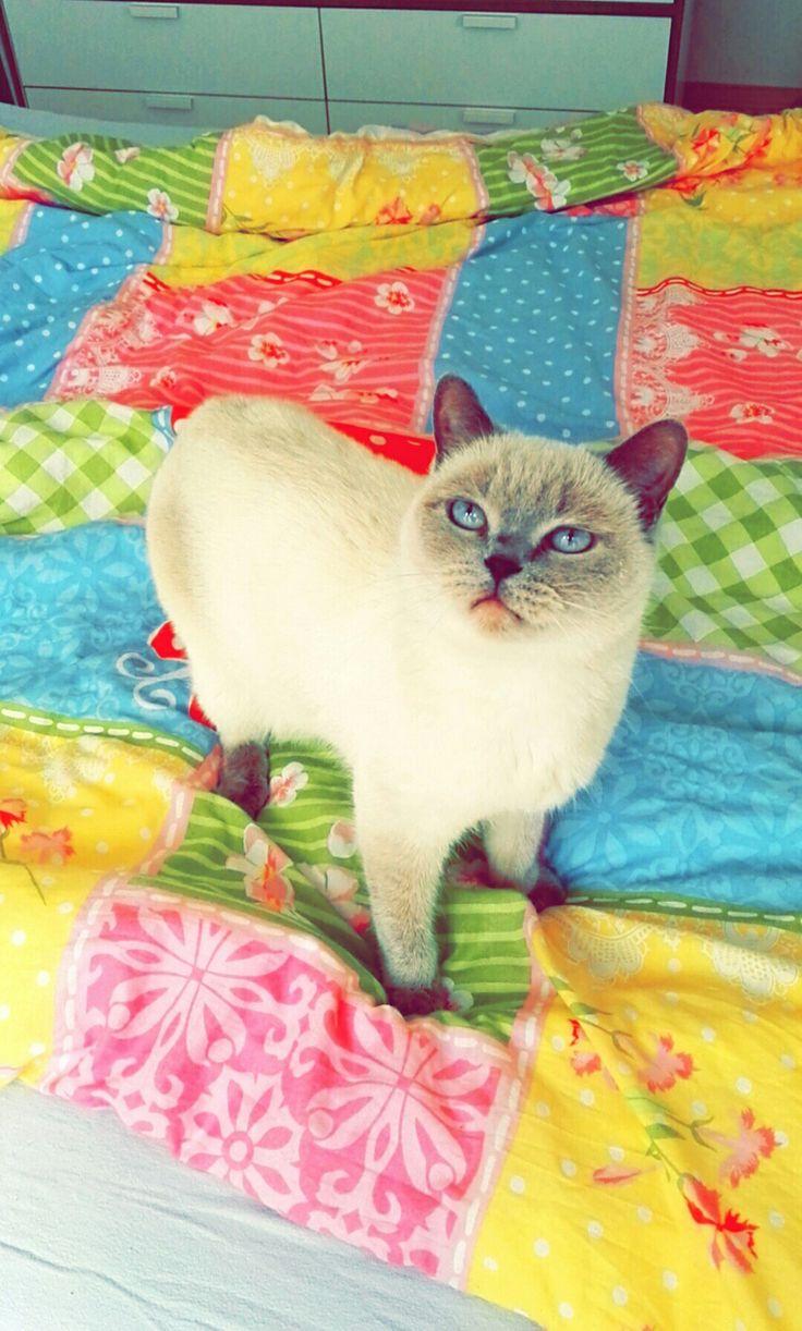 #cat #cute #blue eyes #Susanne