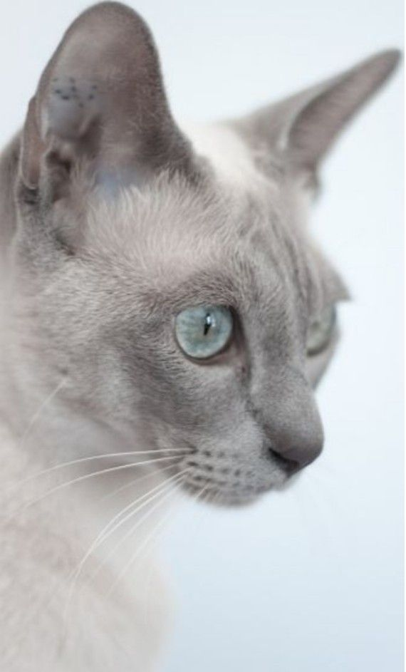 Blue Point Tonkinese Tonkinese Cat Cat Breeds Siamese Cats