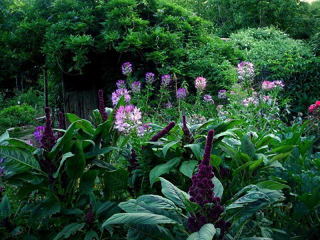 Cleome Spinosa and Amaranthus Gangeticus