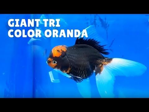 188 best fancy gold fish images on pinterest goldfish for High quality koi for sale