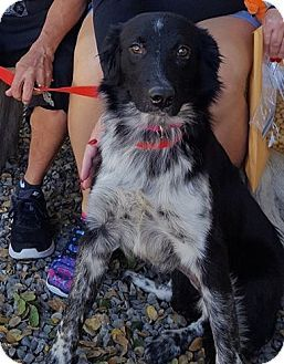Woodland, CA - Border Collie. Meet Jojo, a dog for adoption. http://www.adoptapet.com/pet/17030656-woodland-california-border-collie