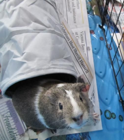 Four+Christmas+Gift+Suggestions+for+Guinea+Pigs