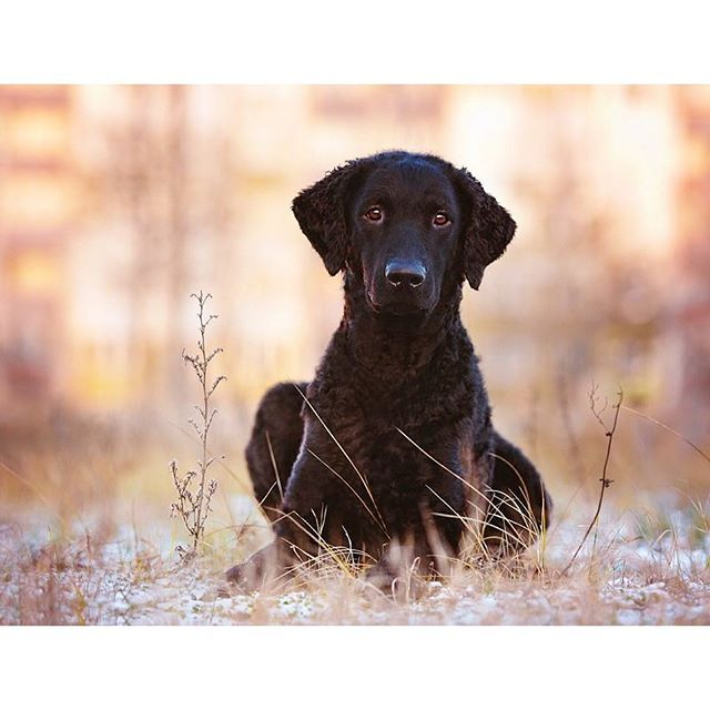 There is more to this breed than the eye-catching coat, but let's begin there. The Curly Coated Retriever is covered top to bottom in tight curls of either black or liver. This dense covering serves as waterproof and thorn-resistant all-weather gear for dogs bred to work in thick bramble and icy lakes. This is a big, durable hunting buddy, but Curlies are more elegant and graceful than the usual run of retriever.