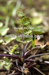 PURWOCENG (PIMPINELLA ALPINA) also known as VIAGRA from Java  Increases stamina and endurance, is believed to increase the libido