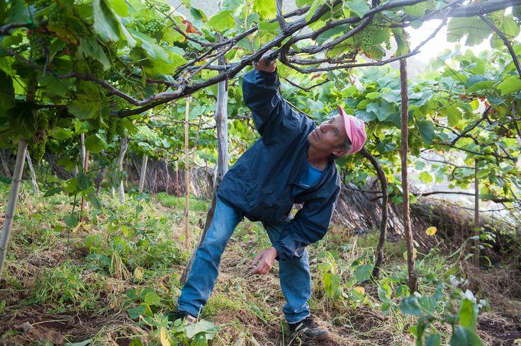 Resident of Porto Moniz working in his grape field. Madeira - Portugal