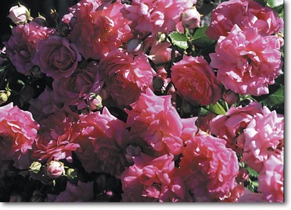 super dorothy roses heirloom roses garden yard. Black Bedroom Furniture Sets. Home Design Ideas